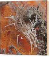 Tiger Shrimp On Orange Sponge, Bali Wood Print