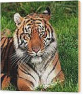 Tiger Sitting In The Grass Wood Print