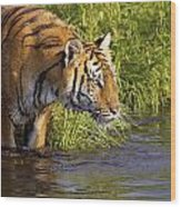 Tiger Standing In Water Wood Print