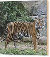 Tigers Glare Wood Print