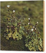 Tiny Flowering Plant Grows In Moss Wood Print