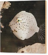 Tiny White Filefish With Small Black Wood Print
