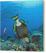 Titan Triggerfish Picking At Coral Wood Print