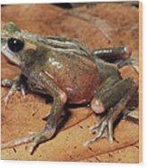 Toad Atelopus Senex On A Leaf Wood Print