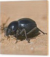 Tok-tokkie Beetle Wood Print