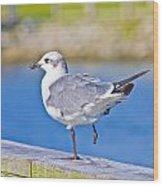 Topsail Seagull Wood Print by Betsy Knapp