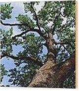 Towering Oak In Summer Wood Print