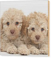 Toy Labradoodle Puppies Wood Print