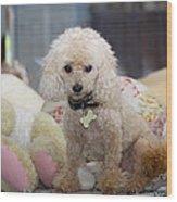 Toy Poodle Wood Print