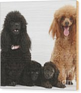 Toy Poodle Family Wood Print