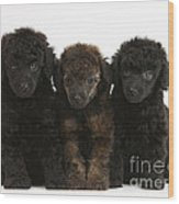 Toy Poodle Pups Wood Print