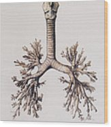 Trachea And Lung Bronchi Wood Print