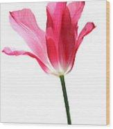 Translucent Pink Tulip Flower  Wood Print