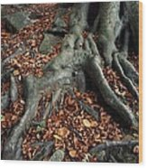 Tree Roots Of A Beech Tree Wood Print