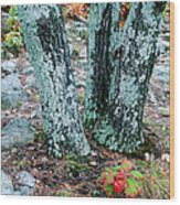 Tree Trio In Lichen At Hawn State Park Wood Print