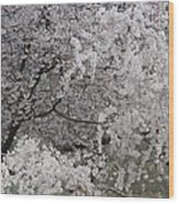 Trees Heavy With Cherry Blossoms Wood Print