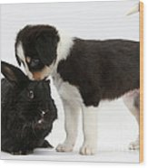 Tricolor Border Collie Pup With Black Wood Print