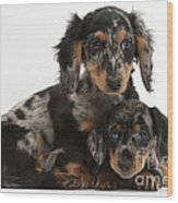 Tricolor Dachshund Puppies Wood Print
