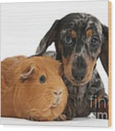 Tricolor Merle Dachshund Pup And Red Wood Print