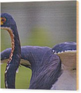 Tricolored Heron About To Fly Wood Print