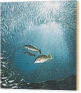 Trio Of Snappers Hunting For Bait Fish Wood Print