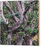 Triplet Trees Wood Print by Beverly Hammond