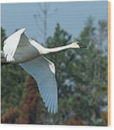 Trumpeter Swan In Flight Wood Print