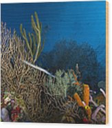 Trumpetfish, Belize Wood Print