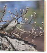 Tufted Titmouse - Bird - Color In Shadows Wood Print