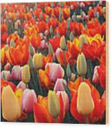 Tulip Sunset 2 Wood Print