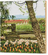 Tulip Time In The Skagit Valley Wood Print