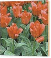 Tulips (tulipa Greigii 'grower's Pride') Wood Print