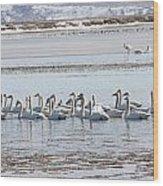 Tundra Swan - 0056 Wood Print