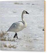 Tundra Swan - 0060 Wood Print