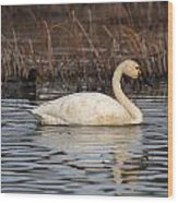 Tundra Swan Wood Print