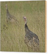 Turkeys Wood Print by Michael Peychich