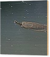 Turtle Time   Wood Print