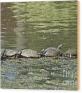Turtle Traffic Jam Wood Print