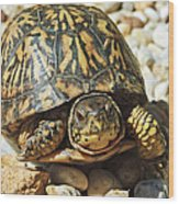 Turtle With Red Eyes On Rocks Wood Print