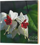 Twin Bleeding Heart Vine Flowers Wood Print
