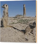 Two Adult Meerkats Suricata Suricatta Wood Print