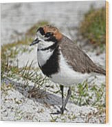 Two-banded Plover Charadrius Wood Print