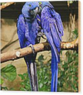 Two Blue Parrots Wood Print