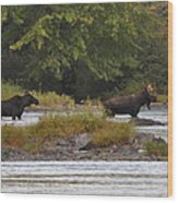 Two Bull Moose In Maine Wood Print