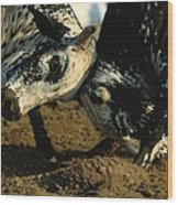 Two  Bulls Locking Heads In The Omani Wood Print