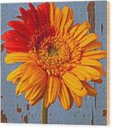 Two Color Gerbera Daisy Wood Print