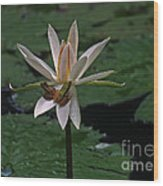 Two Frogs Sharing A Lotus Wood Print