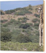 Two Giraffes Looking Into The Distance Wood Print