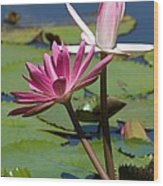 Two Graceful Water Lilies Wood Print