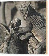 Two Marine Iguanas Amblyrhynchus Wood Print